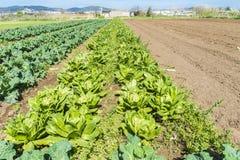 Bebautes Feld von Kopfsalaten und von Kohlpflanzen Lizenzfreies Stockfoto