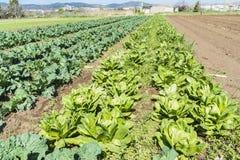 Bebautes Feld von Kopfsalaten und von Kohlpflanzen Lizenzfreie Stockfotos