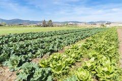 Bebautes Feld von Kopfsalaten und von Kohlpflanzen Stockfoto
