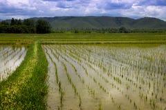 Bebautes Reisfeld in Thailand Stockfotografie