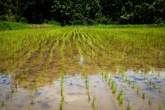 Bebautes Reisfeld in Thailand Stockbild