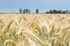 Bebautes Weizenfeld in der Sonne Stockbilder
