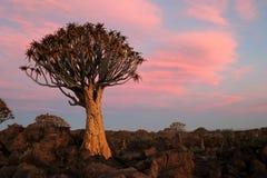 Beben-Baum Forest Aloe - Namibia Afrika lizenzfreies stockfoto