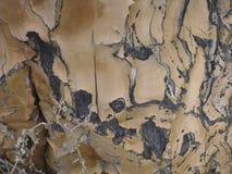 Beben-Baum oder Aloe dichotoma Barke Stockbild