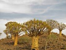 Bebenbaum auf Felsen in einem Ferienzentrum nah an Keetmanshoop in Namibia lizenzfreies stockfoto