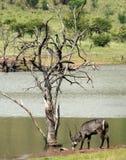 Beber água-buck fotos de stock royalty free