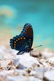 Beber colorido da borboleta Imagem de Stock