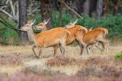 Beber das fêmeas dos veados vermelhos fotos de stock royalty free