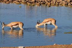 Beber das gazelas imagens de stock royalty free