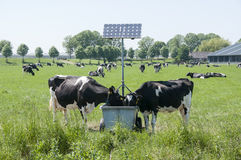Beber das vacas Foto de Stock Royalty Free