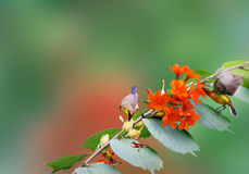 Beber do colibri fotos de stock royalty free