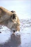 Beber do leão Imagens de Stock