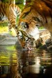 Beber do tigre de Bengal Imagens de Stock