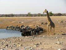 Beber dos animais dos variuos de Namíbia Foto de Stock