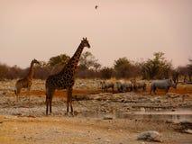 Beber dos animais dos variuos de Namíbia Fotos de Stock Royalty Free