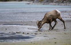Beber dos carneiros de Bighorn Fotos de Stock
