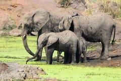 Beber dos elefantes Imagem de Stock Royalty Free