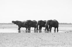 Beber dos elefantes Fotos de Stock Royalty Free