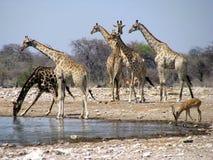 Beber dos girafas de Namíbia Foto de Stock Royalty Free