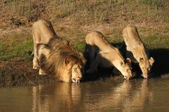 Beber dos leões. Foto de Stock