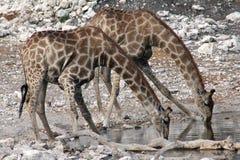 Bebida de las jirafas Imagen de archivo libre de regalías