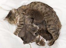 Bebida de los bebés de los gatos en su madre Fotografía de archivo