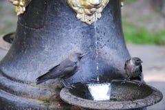 Bebida de los pájaros de una fuente de agua Imagenes de archivo
