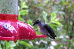 Bebidas del colibrí en el alimentador Foto de archivo libre de regalías