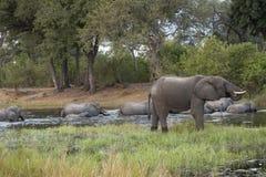 Bebidas do elefante quando o rebanho cruzar o rio Fotos de Stock Royalty Free