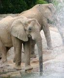 Bebiendo Elefante Στοκ Εικόνες