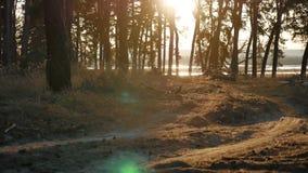 Beboste de bomenlevensstijl van het Pijnboom bossilhouet backlit door gouden zonlicht vóór zonsondergang met zonstralen die door  stock video