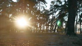 Beboste de levensstijlbomen van het Pijnboom bossilhouet backlit door gouden zonlicht vóór zonsondergang met zonstralen die door  stock video