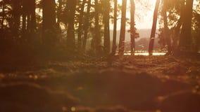 Beboste het landschapsbomen van het pijnboom bossilhouet backlit door gouden zonlicht vóór zonsondergang met zonstralen die door  stock videobeelden