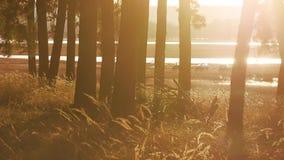 Beboste van de het grasstomp van het Pijnboom boslandschap droge het silhouetbomen backlit door gouden zonlicht vóór zonsondergan stock video