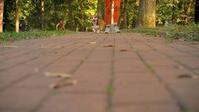 Bebouwd voorbeeld van corgy hond die op een leiband met vrouw in groen park lopen stock videobeelden