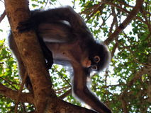 Bebrillter Langur (Trachypithecus-obscurus) auf einem Baum Stockfotos