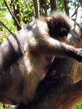 Bebrillter Langur (Trachypithecus-obscurus) auf einem Baum Stockbilder