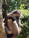 Bebrillter Langur (Trachypithecus-obscurus) auf einem Baum Lizenzfreies Stockbild