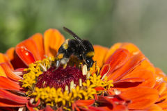 A bebumble-bee extracting the nectar Royalty Free Stock Photography
