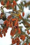 Bec croisé à ailes par blanc dans l'arbre Image stock