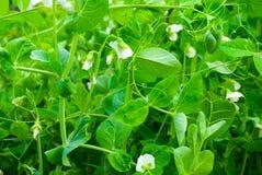 Bec d'ancre de floraison Images stock