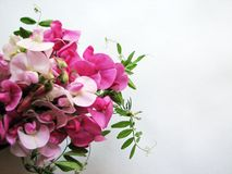 Bec d'ancre doux rose Photographie stock libre de droits