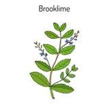 Beccabunga Вероники Brooklime, европейское speedwell, лекарственное растение иллюстрация штока
