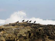 Beccacce di mare nere africane sulle rocce Fotografie Stock Libere da Diritti