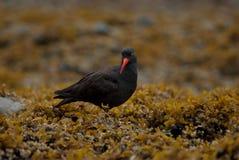 Beccaccia di mare nera su alga Fotografie Stock