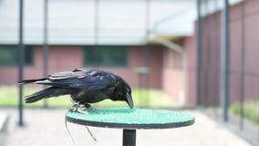 Becco di pulizia di Raven stock footage