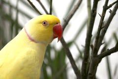Becco di Ring Neck Parrot With Red Fotografia Stock Libera da Diritti