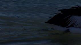 Becco rosa e lungo di un pellicano video d archivio