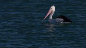 Becco rosa e lungo di un pellicano stock footage