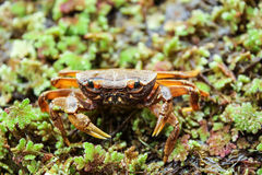 Beccumon alcockianum ,River crab in nature Royalty Free Stock Photography